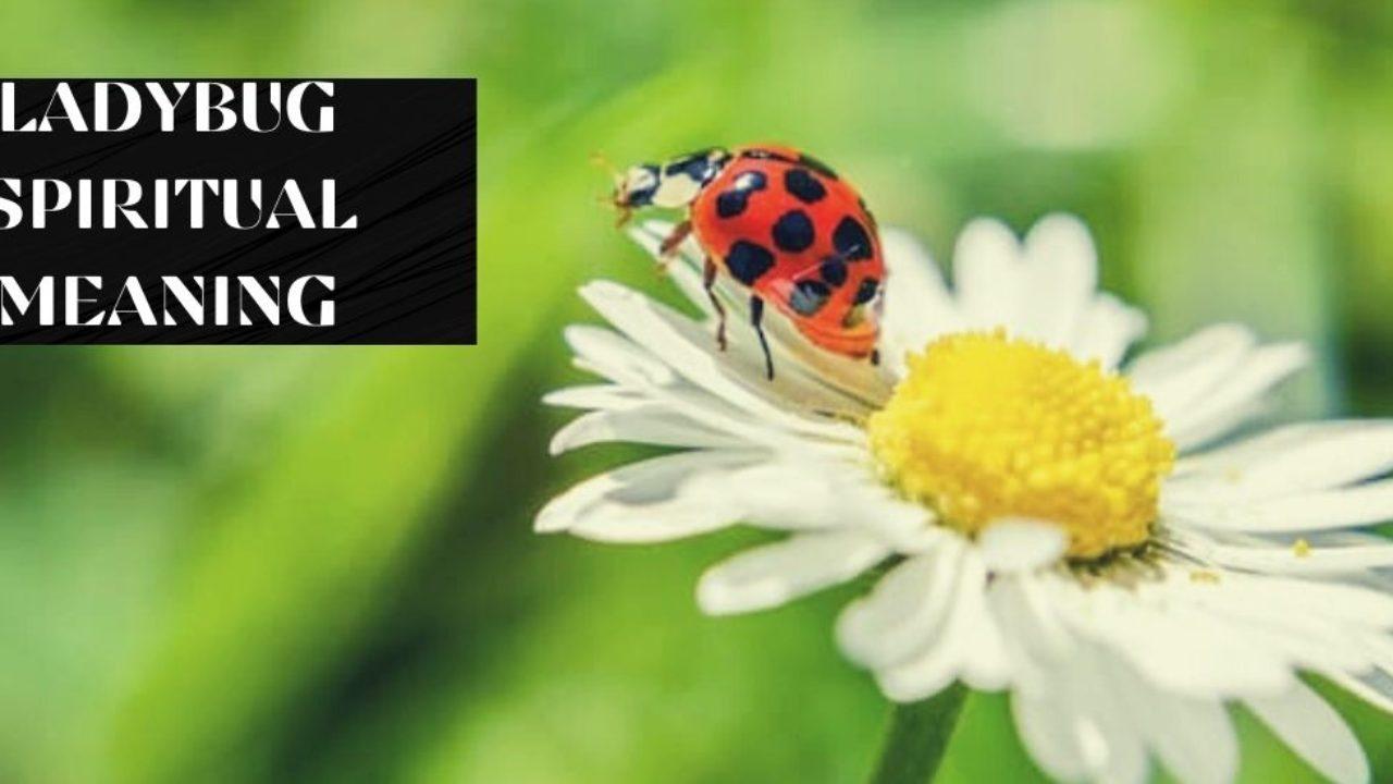 Ladybug Spiritual Meaning Dreamatico
